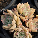 펀퀸 400121|Echeveria fun queen
