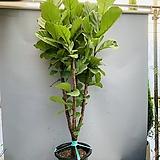 키큰떡갈고무나무 (목대굵은 풍성수형 특특대품) 동일품배송|Ficus elastica