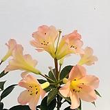 비례야만병초 분홍|