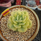 블루에뜨금1-2481|Echeveria peacockckii bluete