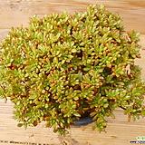 목대 소인제|Aeonium  sedifolius