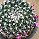 검은가시옹옥선인장01223|Haworthia truncata