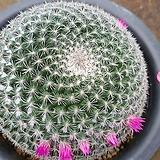 대품 옹옥선인장01225|Haworthia truncata