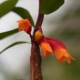 덴드로비움 라웨시 바 바이칼라 Den. lawesii var. bicolor|
