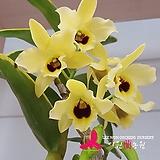 덴드로비움 골든 브로섬 코가네 Den. Golden Blossom Kogane|