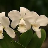 카틀레야 화이트 브리달 유끼 C. White Bridal Yuki|
