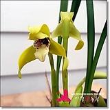 막실라리아 포피로스텔 Maxillaria porphyrostele|