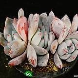 상아68|Echeveria ivory
