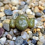 Conophytum minusculum R&Y.1730(10km N. Graafwater)-3두(코노 미누스쿨럼1.22)|