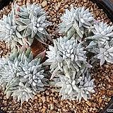 화이트그리니(목대좋아요)101-8449|Dudleya White gnoma(White greenii / White sprite)