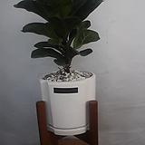 떡갈고무나무(오브제)|
