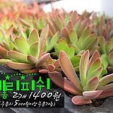 체리피쉬(Crassula rattrayii) 다육모종 2개 1400원 (단품목 5000원 이상배송가능)|