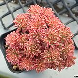 소인제 금(복륜금)_o43|Aeonium  sedifolius