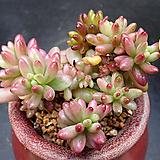 오로라금|Sedum rubrotinctum cv.Aurora