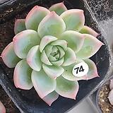 핑크크리스탈|Echeveria Pink Crystal