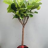 외목수형 떡갈고무나무 특대품 (동일품배송)|Ficus elastica