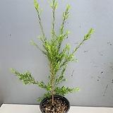 티트리나무 (동일품배송)|