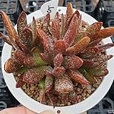 희어소금|Adromischus maculatus