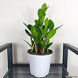 돈나무 금전수 머니트리 공기정화식물|Zamioculcas zamiifolia