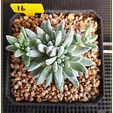 화이트그리니 자연군생|Dudleya White gnoma(White greenii / White sprite)