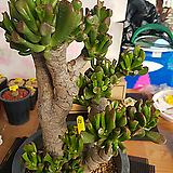 목대우주목|Crassula obliqua Gollum