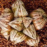 손오공 자구 소묘(孫悟空) (Haworthia splendens Songoku, offset)|
