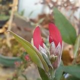 스완강콩꽃|