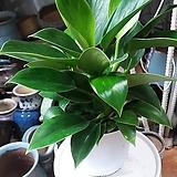 *간혹 택배가 전달되는 과정중에 식물의 잎과 꽃이 떨어질 수는 있으나 향기플라워에서는 절대로 하자있는 식물은 보내지 않고 있습니다. (잎과 꽃이 떨어진 이유로는 교환&반품의 사유는 되지않습니다.) 새순은 금방 올라오니 너무 걱정하지마시고 언제든지 궁금하신 점 있으시면 전화주시면 답변 드리겠습니다.|