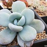 울리카테카바나 401-8483|Pachyphytum Cuicatecanum
