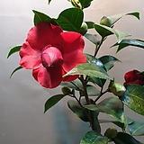 블랙로즈동백(대품)  빨간꽃이 피는 아이에요 (생명력짱)  높이 75-90|