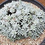 화이트그리니 101-8535|Dudleya White gnoma(White greenii / White sprite)