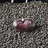 4228-C.pellucidum subsp. pellucidum var. neohallii Makins Plum 마킨스플럼|