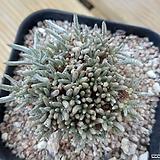 알스토니 적화 Alstonii 특가 Avonia quinaria ssp Alstonii