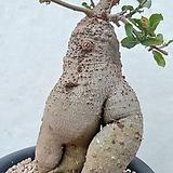 포게아 에듈리스 왕대품 Fokea edulis  아프리카식물 
