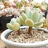 이미인|Pchyphytum oviferum mikadukibijin