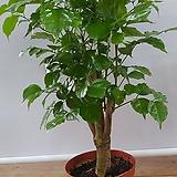 녹보수 행복나무 공기정화