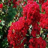 다이너마이트,백일홍나무(삽목1년),같이가치농원