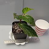 화산리(베고니아)|Begonia