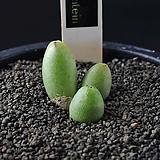 4255-Conophytum  bruynsii  브런시3두|