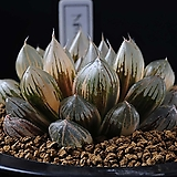 블랙 옵튜사금|Haworthia cymbiformis var. obtusa