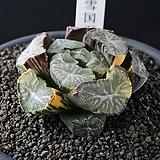 설국만상금|Haworthia maughanii variegated