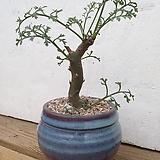 크리스미폴리움 Pelargonium crithmifolium 아프리카식물