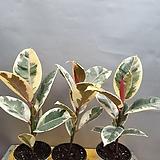 수채화고무나무(물감을 뿌린것처럼 예쁜아이에요) 새로입고|Ficus elastica