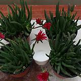 다육식물.신월.4개.다시입고.빨강색꽃.상태굿.잎많아요.인기상품.키우기 좋습니다~|