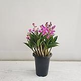 긴기아난/공기정화식물/반려식물/온누리 꽃농원