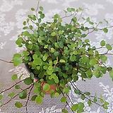 Muehlenbekia complexa(S)2020새상품/공기정화식물