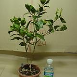 무늬윤천동백8번-갑복륜의불규칙한잎변의동백-동일품배송