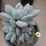 오팔리나_2|Graptoveria Opalina