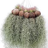 싱싱 생생 풍성한 틸란드시아 틸란 이오난사 공기정화식물 공중식물 행잉플랜트 에어플랜트 미세먼지|Tillandsia