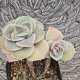 可爱玫瑰#9
